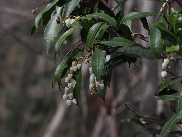 アセビ Pieris japonica subsp. japonica P3236472