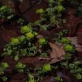 ネコノメソウ Chrysosplenium grayanum P3236480
