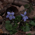 タチツボスミレ Viola grypoceras var. grypoceras P3236485