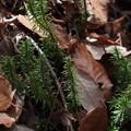 トウゲシバ Huperzia serrata P3236493