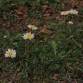 シロバナタンポポ Taraxacum albidum P3246495