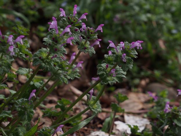 ホトケノザ Lamium amplexicaule P3246522