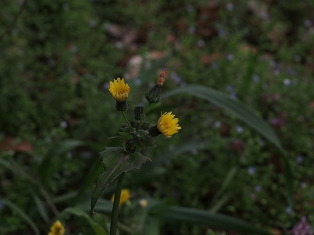 ノゲシ Sonchus oleraceus P3246527