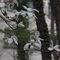 コブシ Magnolia kobus P3246583
