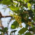 写真: ナツグミ Elaeagnus multiflora P3300101