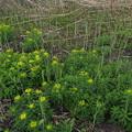Photos: ノウルシ Euphorbia adenochlora P4156682