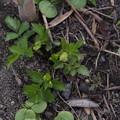 写真: エキサイゼリ Apodicarpum ikenoi P4156683