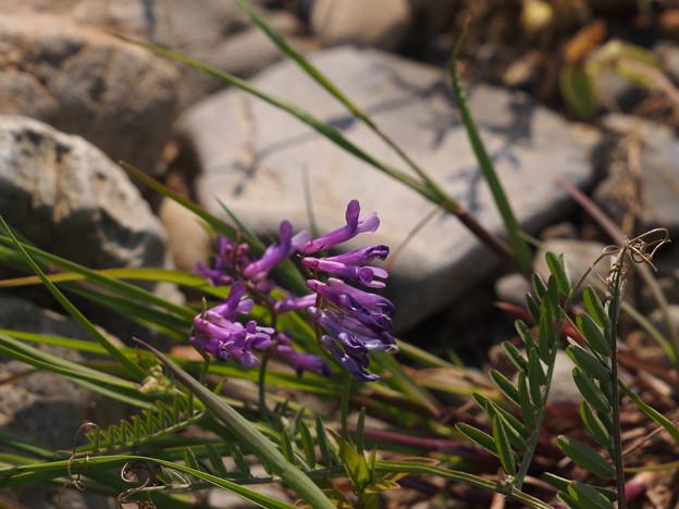 ナヨクサフジ Vicia villosa subsp. varia P4206806
