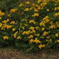 ミヤコグサ Lotus corniculatus var. japonicus P4236884