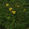 写真: イワニガナ(ジシバリ) Ixeris stolonifera P4246934