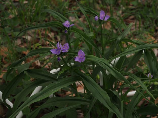 ムラサキツユクサ Tradescantia ohiensis P4246944