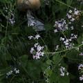 Photos: ハマダイコン Raphanus sativus var. hortensis f. raphanistroides P4297048