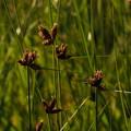 写真: コウキヤガラ Bolboschoenus koshevnikovii P5047202