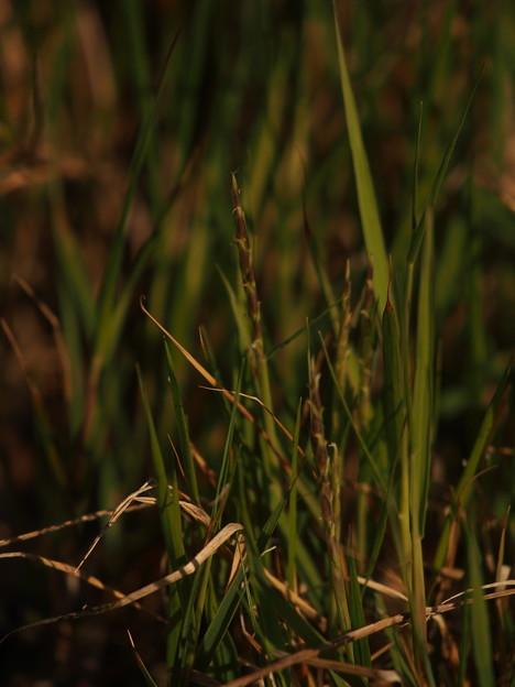 写真: ナガミノオニシバ Zoysia sinica var. nipponica P5047216