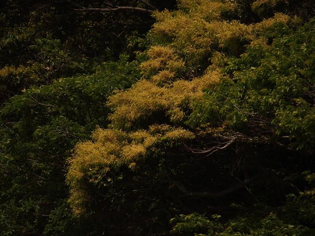スダジイ Castanopsis sieboldii P5067269