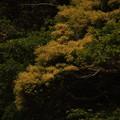 写真: スダジイ Castanopsis sieboldii P5067269