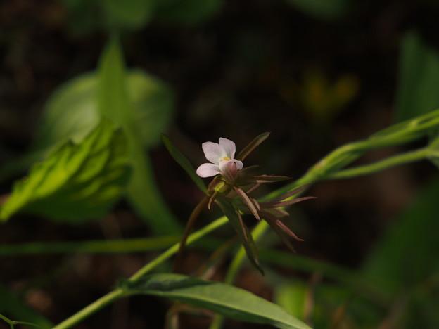 クチナシグサ Monochasma sheareri (花) P5117319