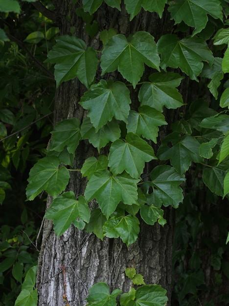 ツタ Parthenocissus tricuspidata P5117325
