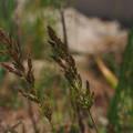 Photos: ヒエガエリ Polypogon fugax P5147355