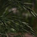 Photos: イヌムギ Bromus catharticus P5147366