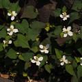 写真: ドクダミ Houttuynia cordata P5147411