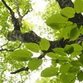 ヒトツバカエデ Acer distylum P5267635