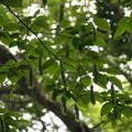 Photos: サワシバ Carpinus cordata P5267646