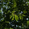 写真: ヒトツバカエデ Acer distylum (開花) P5277702