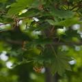 写真: コハウチワカエデ Acer sieboldianum P5277727