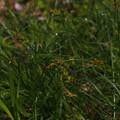 写真: ミノボロスゲ Carex nubigena subsp. albata P5297739