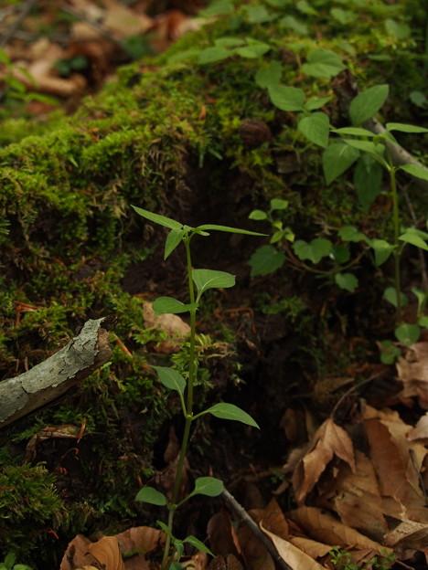 ヤマトグサ Theligonum japonicum P5297784