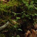 写真: ヤマトグサ Theligonum japonicum P5297784