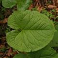 写真: オタカラコウ Ligularia fischeri