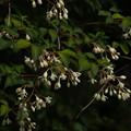 写真: ミツバウツギ Staphylea bumalda P5297820