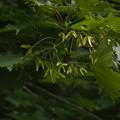 Photos: イトマキイタヤ(モトゲイタヤ) Acer pictum subsp. savatieri P5297846