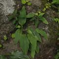 Photos: イワギボウシ Hosta longipes var. longipes P6017880