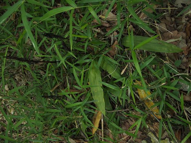サイハイラン Cremastra appendiculata var. variabilis P6048103