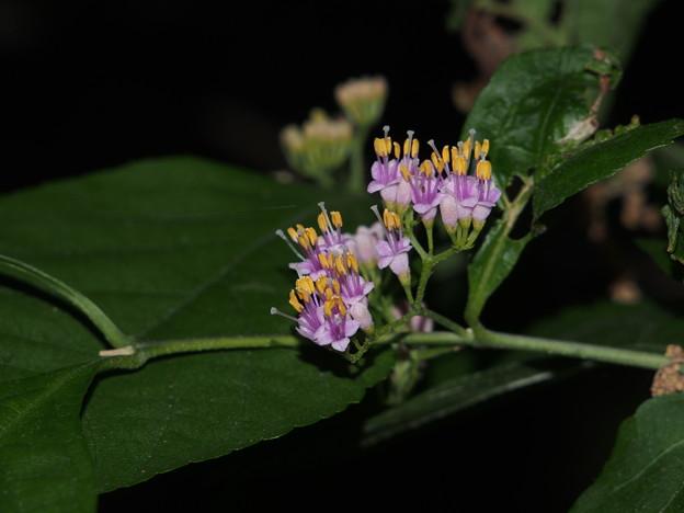 ムラサキシキブ Callicarpa japonica (花) P6048138