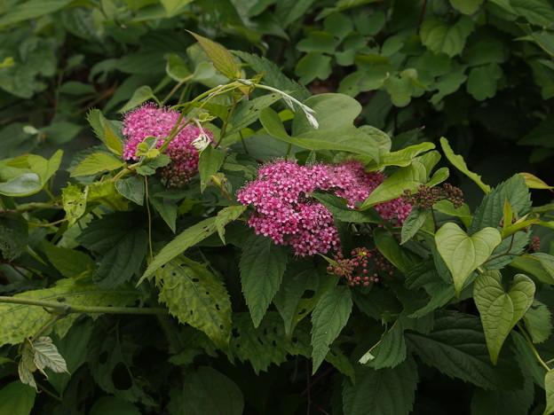 シモツケ Spiraea japonica P6108222