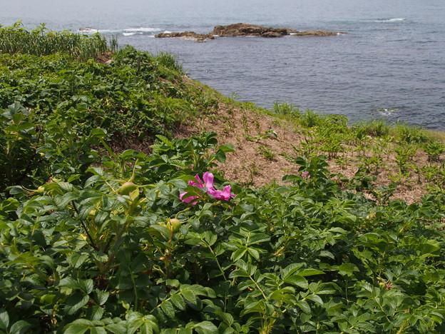 ハマナス Rosa rugosa P6108283