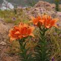 スカシユリ Lilium maculatum P6108337