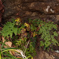 Photos: ハマホラシノブ? Odontosoria biflora (Kaulf.) C.Chr. PB030933