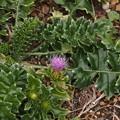 Photos: ハマアザミ Cirsium maritimum Makino PB030943