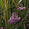 タマムラサキ Allium pseudojaponicum Makino PB041009