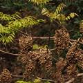 Photos: ハゼノキ Toxicodendron succedaneum (L.) Kuntze PB041025