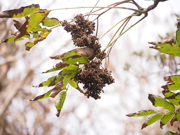 カラスザンショウ Zanthoxylum ailanthoides Siebold et Zucc. PB041026