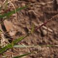 Photos: ヒゲシバ? Sporobolus sp. ? PB051071