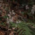 Photos: ヒロハテイショウソウ Ainsliaea cordifolia Franch. et Sav. var. maruoi (Makino) Makino ex Kitam. PB051095