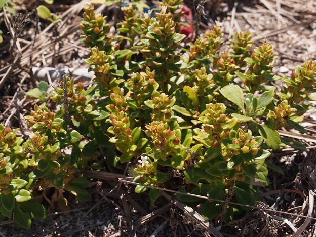 ハマボッス Lysimachia mauritiana Lam. P6309283