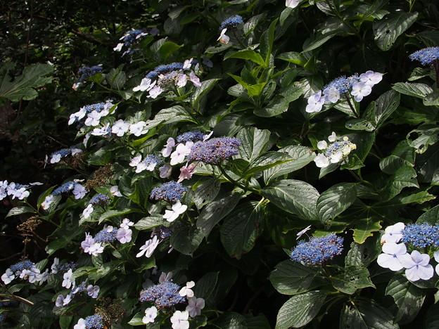 ガクアジサイ Hydrangea macrophylla (Thunb.) Ser. f. normalis (E.H.Wilson) H.Hara P6309293